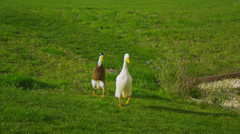 Two cute ducks running across the grass Stock Footage