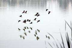 Anatidae in flying over on marsh. Stock Photos