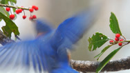 Stock Video Footage of Eastern Bluebird Male