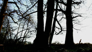 Stock Video Footage of Tree silhouettes in woods (dolly zoom)