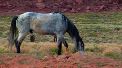 Grey Navajo Stallion Grazes with Other Horses in Monument Valley - stock footage