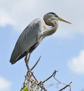Great blue heron perching Stock Photos