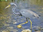 Stock Photo of tricolored heron