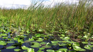 Stock Video Footage of Riding over reed in Floridas wetlands