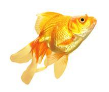 Kultakalaa eristetty Kuvituskuvat