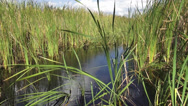 Stock Video Footage of Reed in Floridas wetlands
