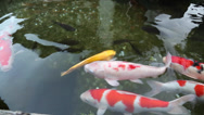 Stock Video Footage of Brocade carp swimming in a pond