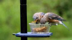Bluebirds on a feeder Stock Footage