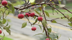 Rain Dripping off Apples - stock footage