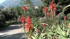 Flowers of aloe in the botanic garden Stock Footage