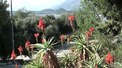 Blooming aloe and sea view Stock Footage