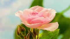 Pink rose blossoming - stock footage