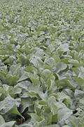 Stock Photo of cauliflower field, india
