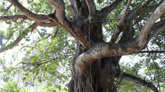 Tilt down branches of 'Killing Tree' at Killing Fields, Cambodia Stock Footage