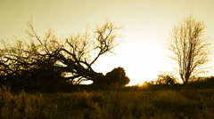 Fallen tree silhouette, yellow tint (dolly) - stock footage