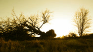 Stock Video Footage of Fallen tree silhouette, yellow tint (dolly)
