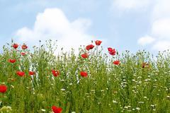 Red poppy flowers spring season Stock Photos