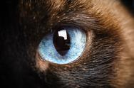 Stock Photo of one siamese cat eye macro extreme closeup with reflection of photographer