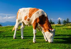 cow grazing on meadow. photo taken in graz, austria - stock photo
