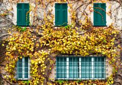 Old building with yellowed ivy and green windows Stock Photos