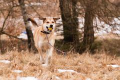 mutt of labrador and german shepherd - stock photo