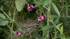 Sardinian Warbler Stock Footage