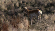 Stock Video Footage of A Pronghorn on Antelope Island near Salt Lake City