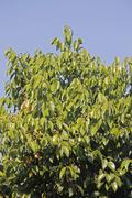plant of tej patta, laurus nobilis l. - stock photo