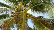 Stock Video Footage of coconut tree against the sky