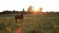 Beautiful horse grazing at summer dusk, sun rays through trees, click for HD Stock Footage