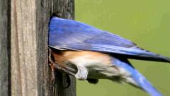 Male Eastern Bluebird (Sialia sialis) on a nest box - stock footage