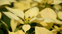 Poinsettia flower (christmas star) Stock Footage