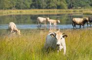 Stock Photo of nature landscape with cows in water