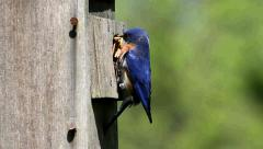 Male Eastern Bluebird (Sialia sialis) on a nest box Stock Footage