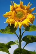 unique sunflower - stock photo
