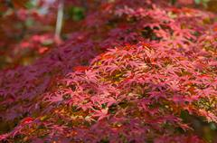A lot of red maple autumn leaves on the tree Stock Photos