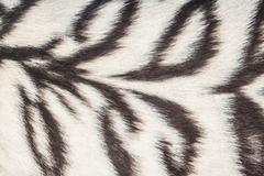 White tiger background Stock Photos