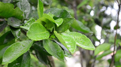 Close on wet leaf - Ibiapaba, Ceará, Brasil Stock Footage