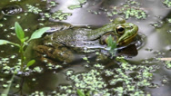 Stock Video Footage of Green Frog (Rana clamitans) sunning in a pond surrounded by duckweed