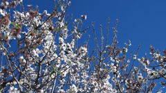 Swinging branches of a blooming almond tree - stock footage