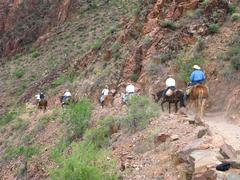 Mules Carry Riders to Phantom Ranch, Grand Canyon - stock photo