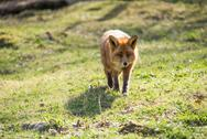 Stock Photo of red fox, vulpes vulpes