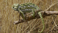 Stock Video Footage of Common chameleon