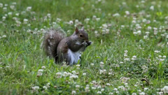 Gray Squirrel (sciurus carolinensis) on a lawn Stock Footage