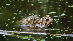 American Toads (Bufo americanus) Mating Stock Footage