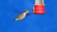 Juvenile Ruby-throated Hummingbird (archilochus colubris) at a feeder Stock Footage