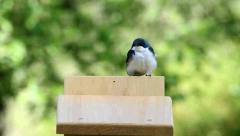 Pair of Tree Swallows (tachycineta bicolor) Stock Footage