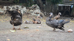 Ducks Stock Footage