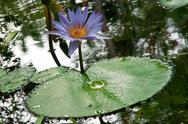 Stock Photo of water lily in bloom with pad