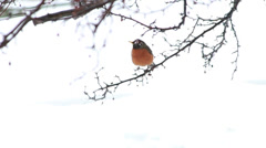 Red Robin on Tree Stock Footage